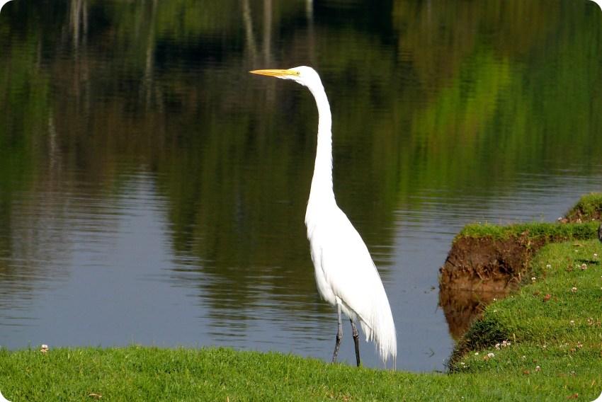 oiseau au Parque Metropolitano Simon Bolivar : Ardea alba