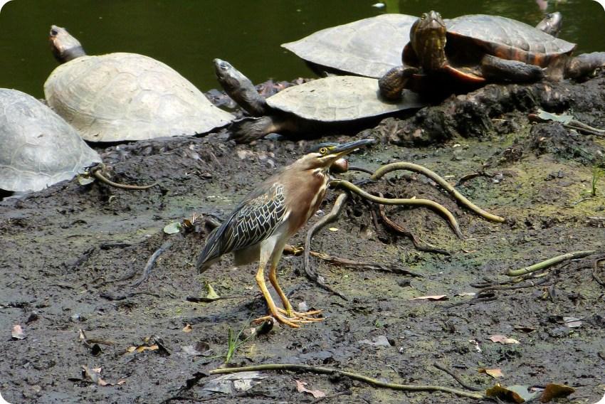 tortugas y aves al orilla del lago del jardín botánico de Medellín : Butorides virescens
