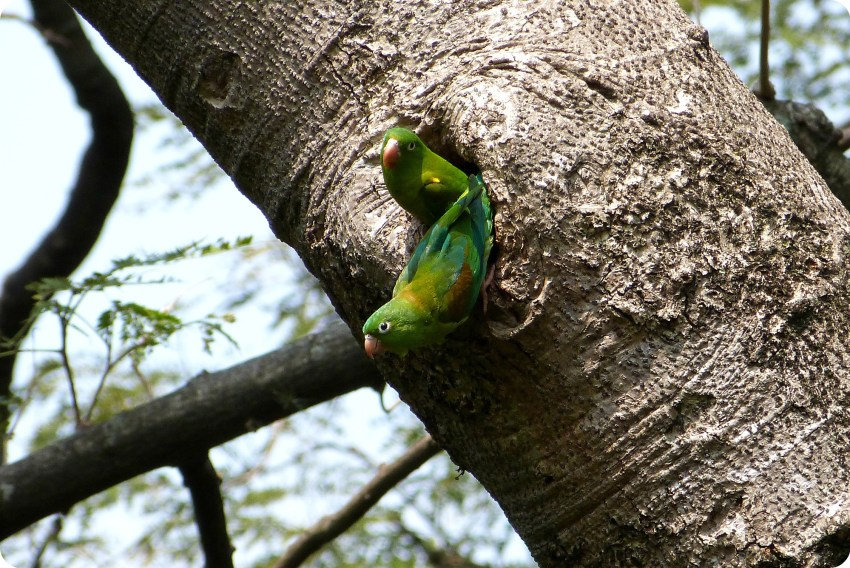 Periquitos de anteojos en su nido en un tronco de un árbol en el jardín botánico de Medellín : Forpus conspicillatus