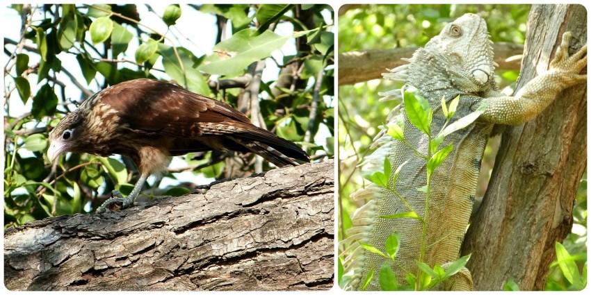Oiseau et iguane dans les arbres près du monument aux vieilles chaussures à Carthagène : Milvago chimachima et Iguana iguana