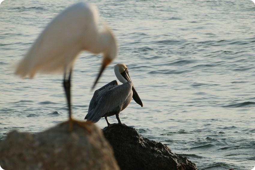 Garceta y pelícano sobre rocas cerca al mar en Cartagena de Indias: Egretta thula, Pelecanus occidentalis