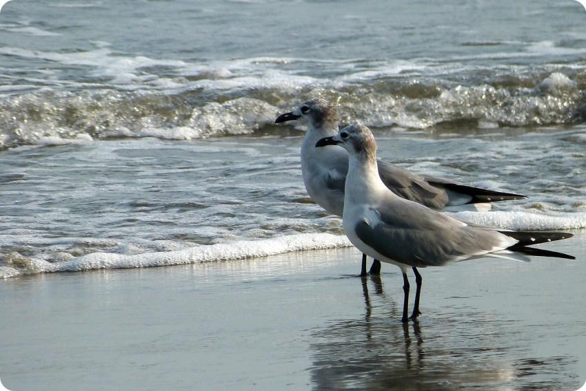 mouettes au bord de l'eau à Carthagène des Indes : Leucophaeus atricilla