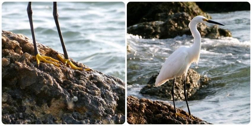 Garceta sobre una roca cerca al mar en Cartagena de Indias: Egretta thula