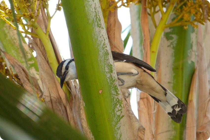 ave en un árbol en Cartagena: Cucarachero currucuchú, Campylorhynchus griseus