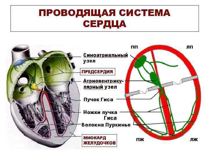 ระบบหัวใจนำไฟฟ้า