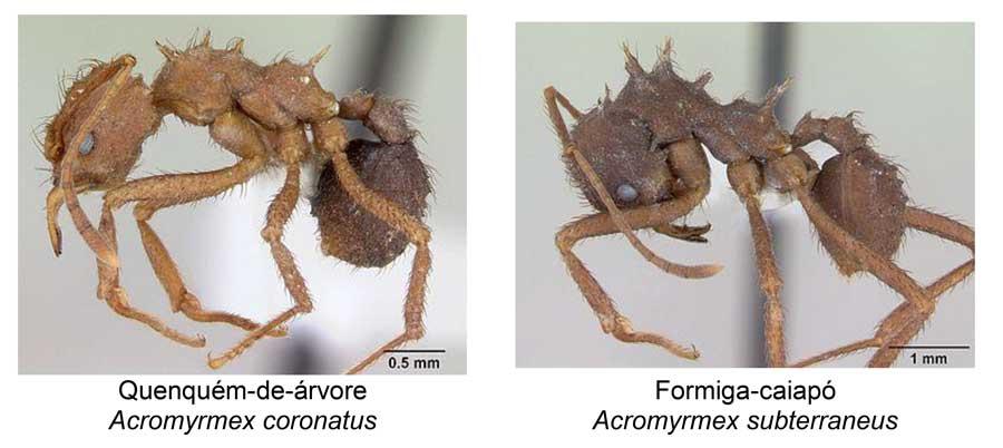 Formigas saúvas: principais espécies e estratégias de manejo