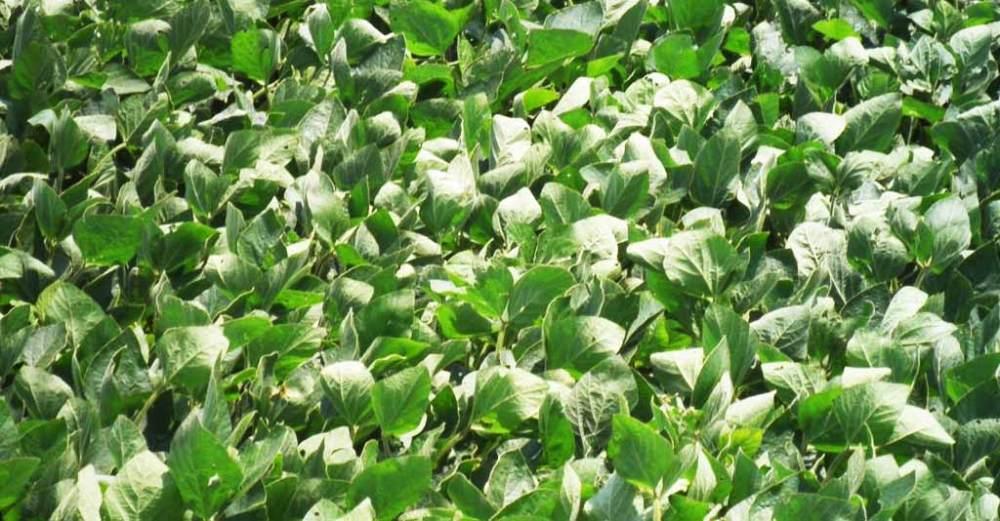 estresse hídrico e doenças de plantas