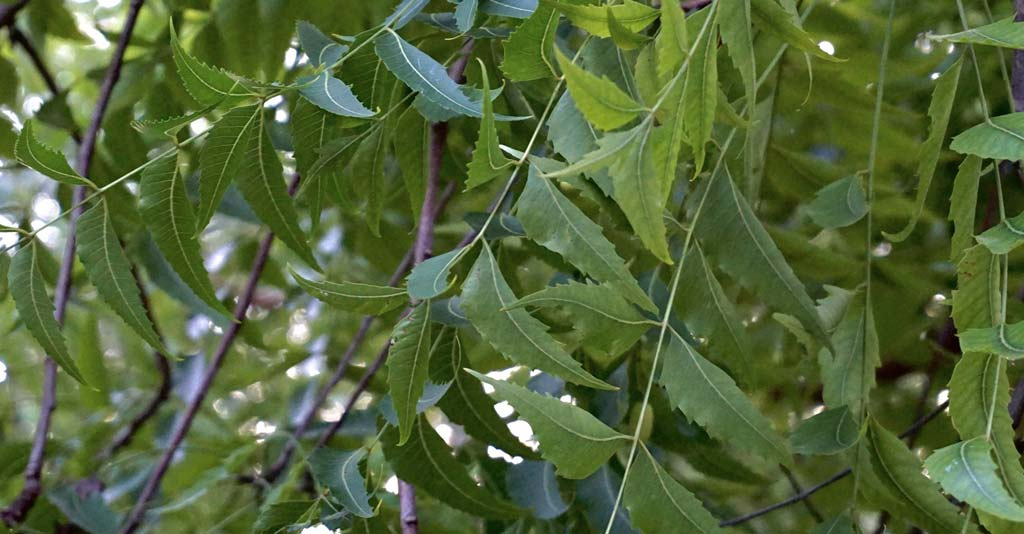 Nim: uma árvore de múltiplas utilidades