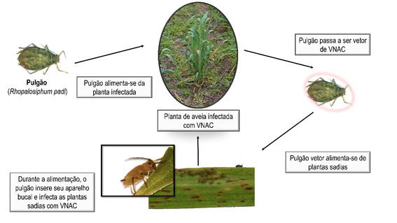 Ciclo do BYDV, ou como é conhecido no Brasil, VNAC (Virose no Nanismo Amarelo da Cevada) em plantas de aveia