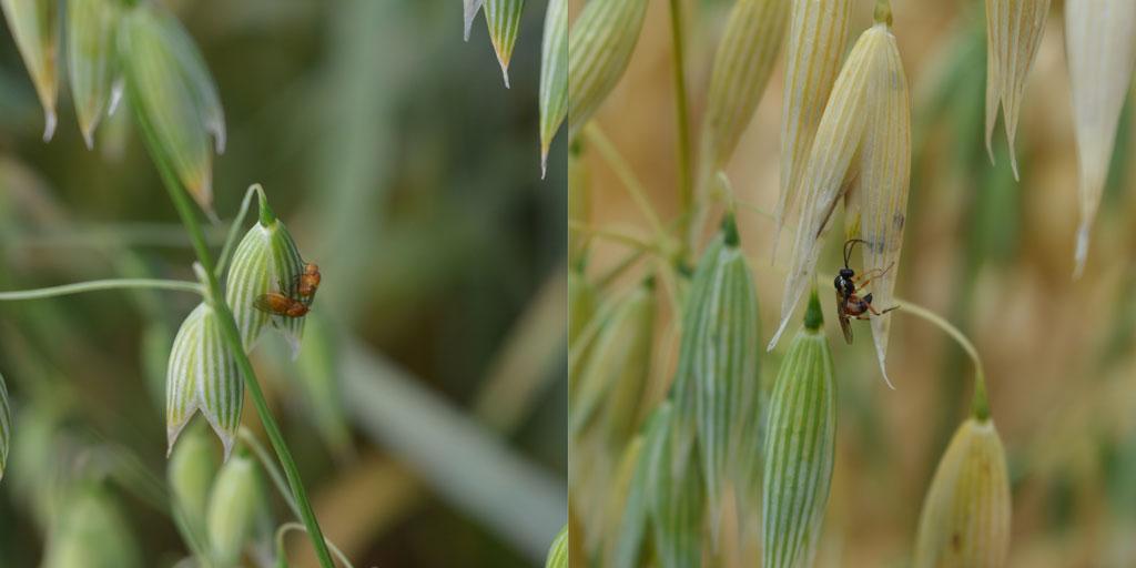 Controle biológico - vespas