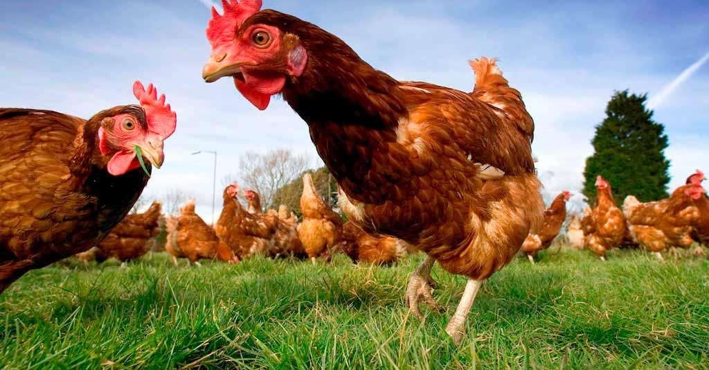 Passo a passo para criação bem-sucedida de galinha caipira
