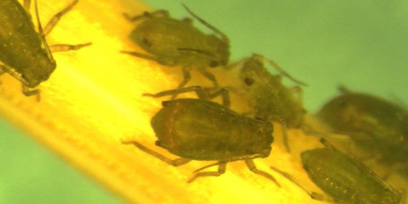 Pulgões da espécie Rhopalosiphum padi