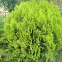 100X Siberian Carpet Cypress Emerald Green Arborvitae ...