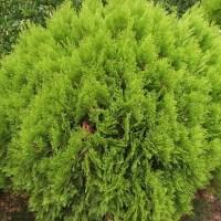 100Pc Siberian Carpet Cypress Emerald Green Arborvitae ...