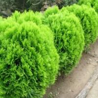 100X Arborvitae Siberian Carpet Cypress Arborvitae Tree ...