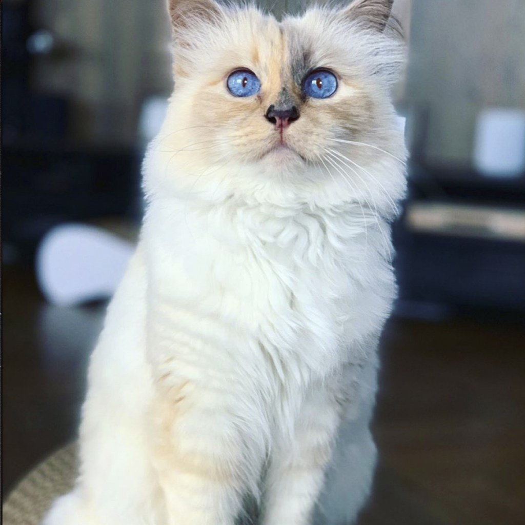 Choupette, el gato de Karl Lagerfeld, es la estrella de un nuevo libro