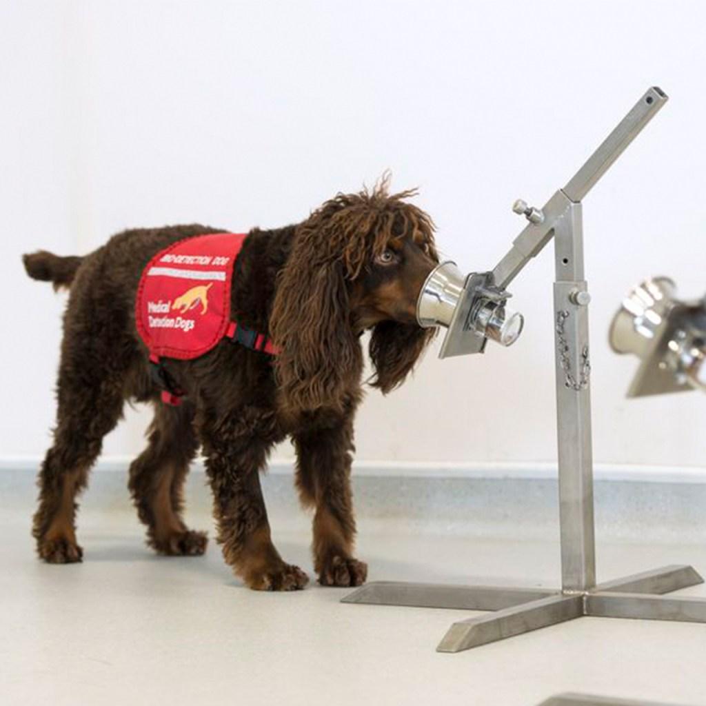 Los perros podrían detectar quién tiene Covid-19