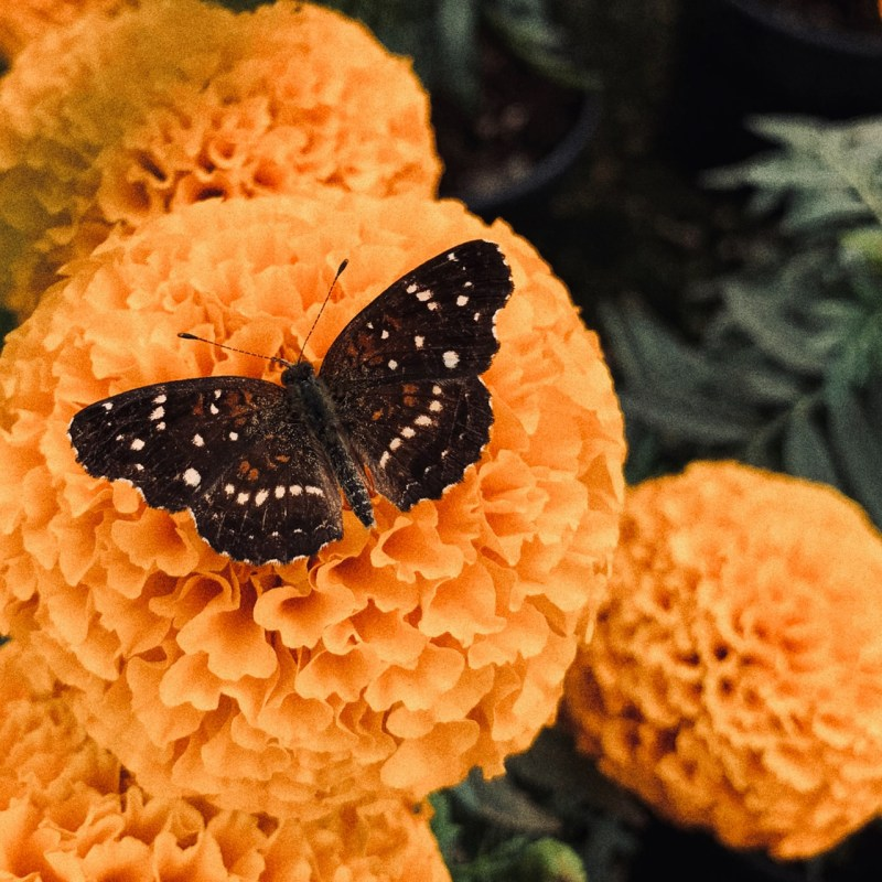 ¿Sabías que no todas las flores de cempasúchil son iguales? Te contamos