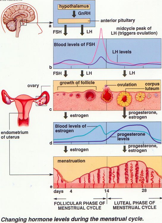 Bagan Siklus Menstruasi : bagan, siklus, menstruasi, Siklus, Menstruasi, Intan, Riani, Ngeblog