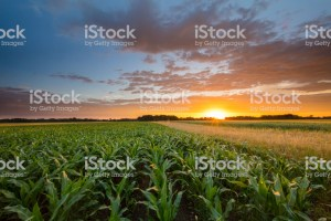 corn field, indiana corn, ag, agriculture, farm, farming