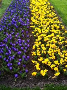 Dark purple crocus and yellow crocus at the Keukenhof