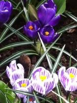 Dark purple crocus and purple/white crocus at the Keukenhof