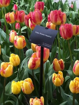 Pink/yellow tulips