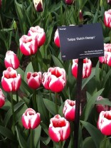 Red-pink tulip with white edging