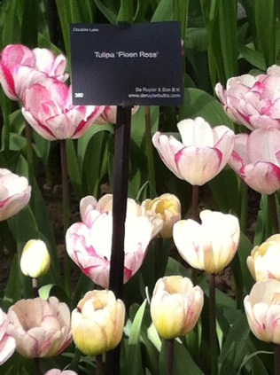 Pale pink and white tulip with pink/cream tulip in the foreground