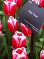 Dark pink tulip with pale pink edging. Tulipa 'Circuit'