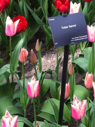 Pink tulip with white edging