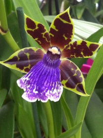 Pale green and almost black orchid with purple tongue