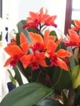 Orange and fuchsia pink orchids