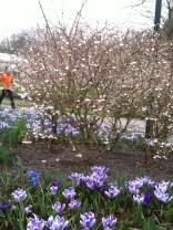 Delicate flowering cherry and pale purple crocus at the Keukenhof
