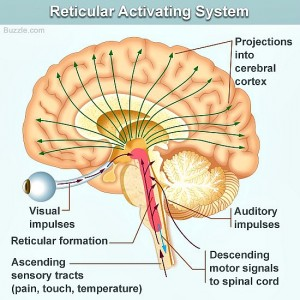brain diagram pons dryer plug wiring 2 reticular formation toyskids co meet the activating system ras integrated stem