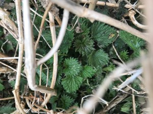 Stinging nettle emerges in Spring