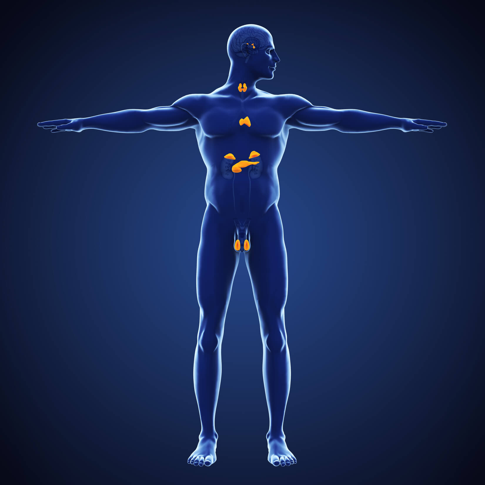 The Endocrine System And Balance