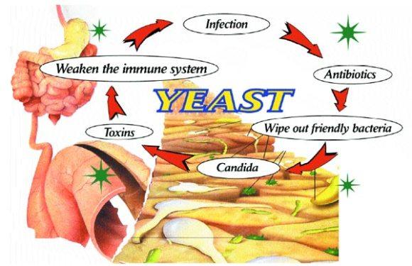 yeastcycle
