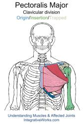 Using the anatomy illustrations to assess restrictions ...