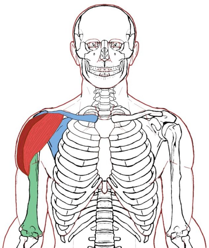 Deltoid Functional Anatomy Integrative Works