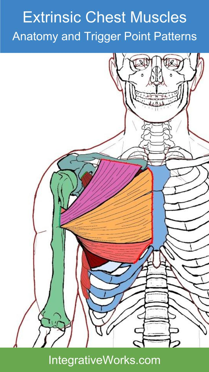Extrinsic Chest Muscles Functional Anatomyintegrative Works