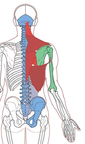 Extrinsic Back Muscles- Functional AnatomyIntegrative Works ...