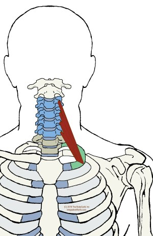 Scalene Muscles – Functional Anatomy | | Integrative Works