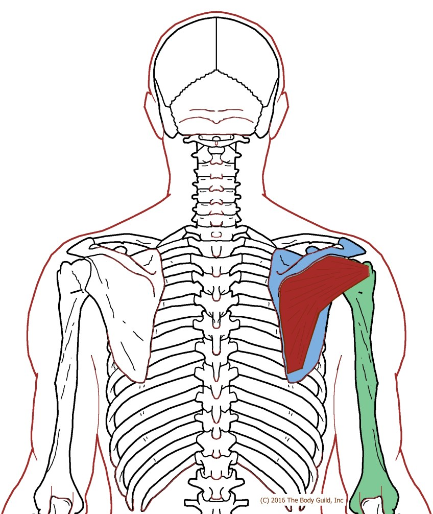 Muscle – posterior – shoulder – rc – hoi – infraspinatus ...