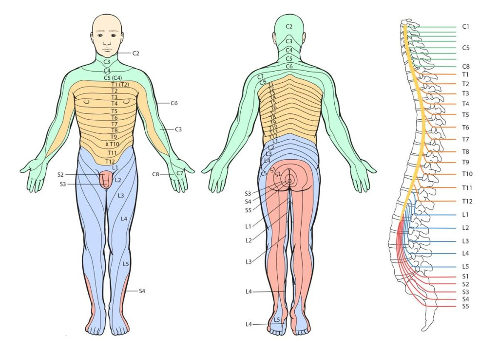 Dermatome patterns from the vertebral nerve roots