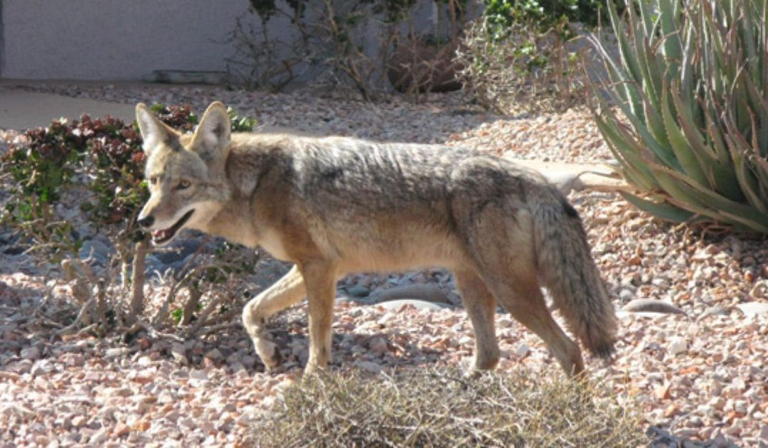 Have you seen a coyote in your neighborhood lately? Here's why