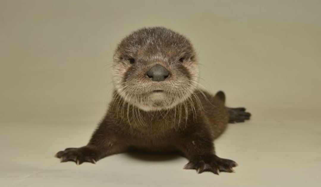 Happy ending for starving baby otter rescued from Arizona Canal