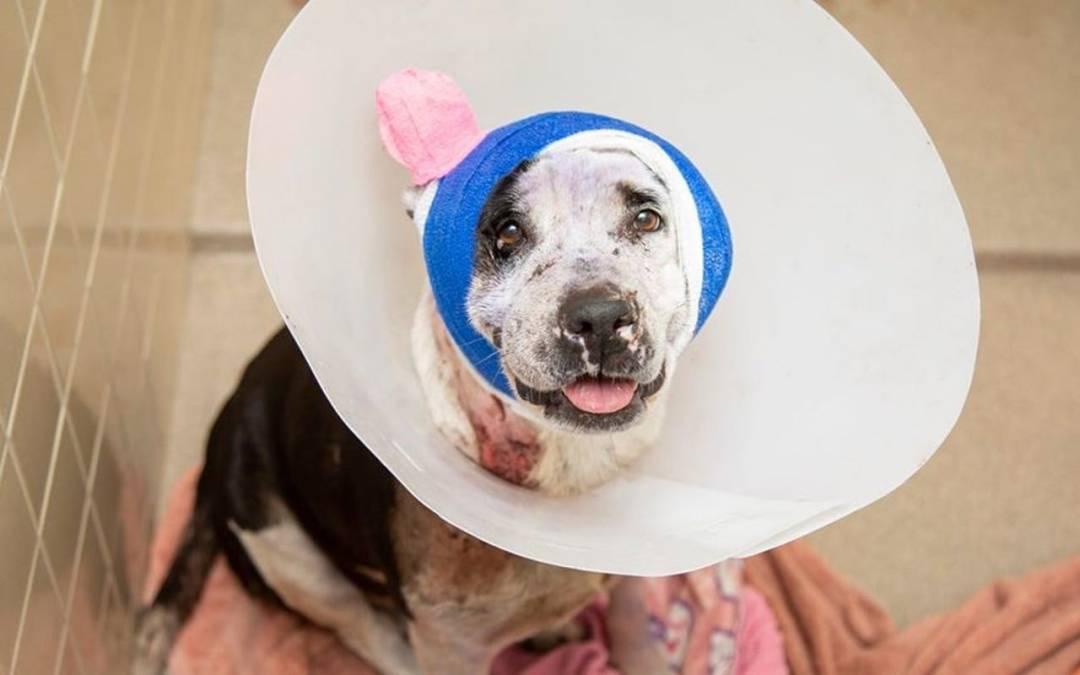 Arizona Humane Society aides wounded dog back to health, no up for adoption