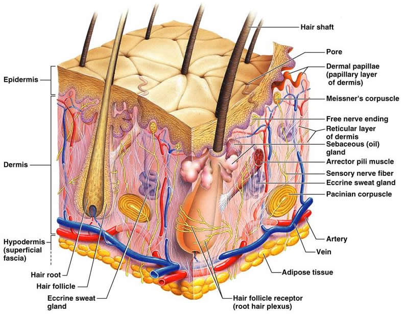 7 layers of skin diagram chevrolet alternator wiring integumentary system home