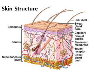 Frog Integumentary System Diagram Integumentary System Parts And Pictures